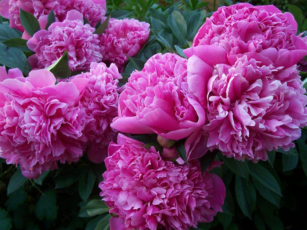 Rhododendron in voller Blüte. Behandelt mit BioMyc Rhodo Vital.